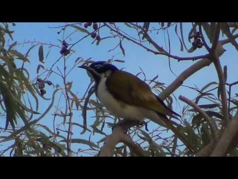 Australian birds NT and QLD - Oiseaux d'Australie