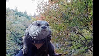 Where are the autumn leaves? PartⅠ [Otter life Day 153] 紅葉はどこ?