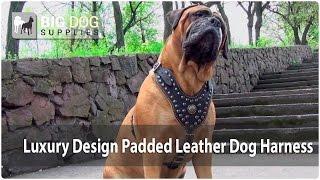 Luxury Leather Dog Harness On Bullmastiff