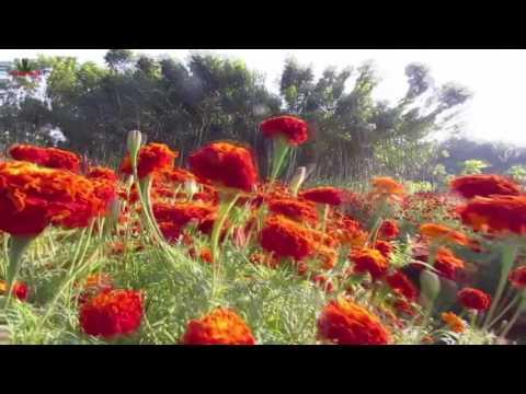 FLOWER FARMING BUSINESS    AT THAKURNAGAR KOLKATA 2017 PART 2