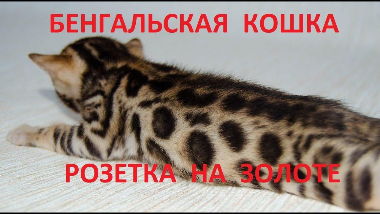 Объявления о продаже взрослых кошек и котят: шотландские, вислоухие, британские, бенгальские, персидские коты, мейн-куны по доступным ценам.