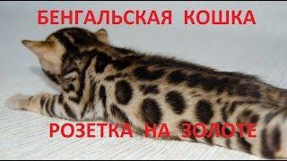 """бенгальская кошка - питомник кошек Lantana Fly  - бенгальские котята """"Cattery Bengal Cats"""""""