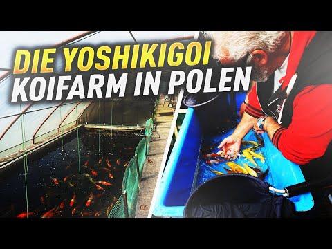 Die Yoshikigoi Koifarm