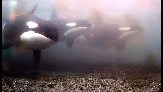 Orcas on Rubbing Beach Underwater cam. 07.25 / 15 August 2018
