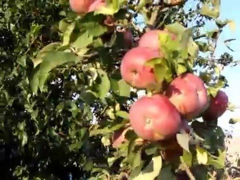 Яблуня,Лобо.