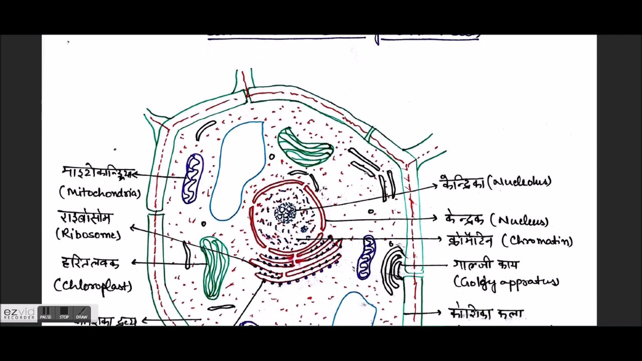 Biology gk in hindi the cell plant and animal cell cell biology gk in hindi the cell plant and animal cell cell organelles biology 21 ccuart