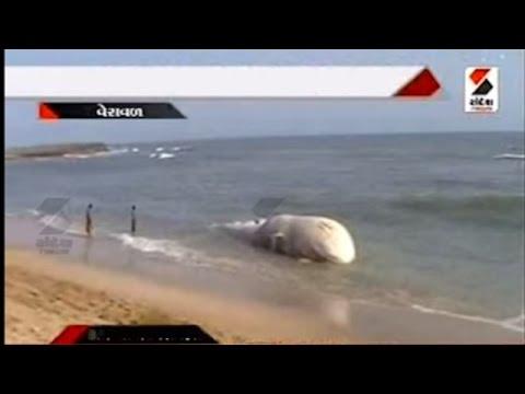 Dead Whale Found at Veraval