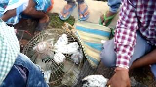 PIGEON MARKET- GARIA( FRIDAY)(RPT)