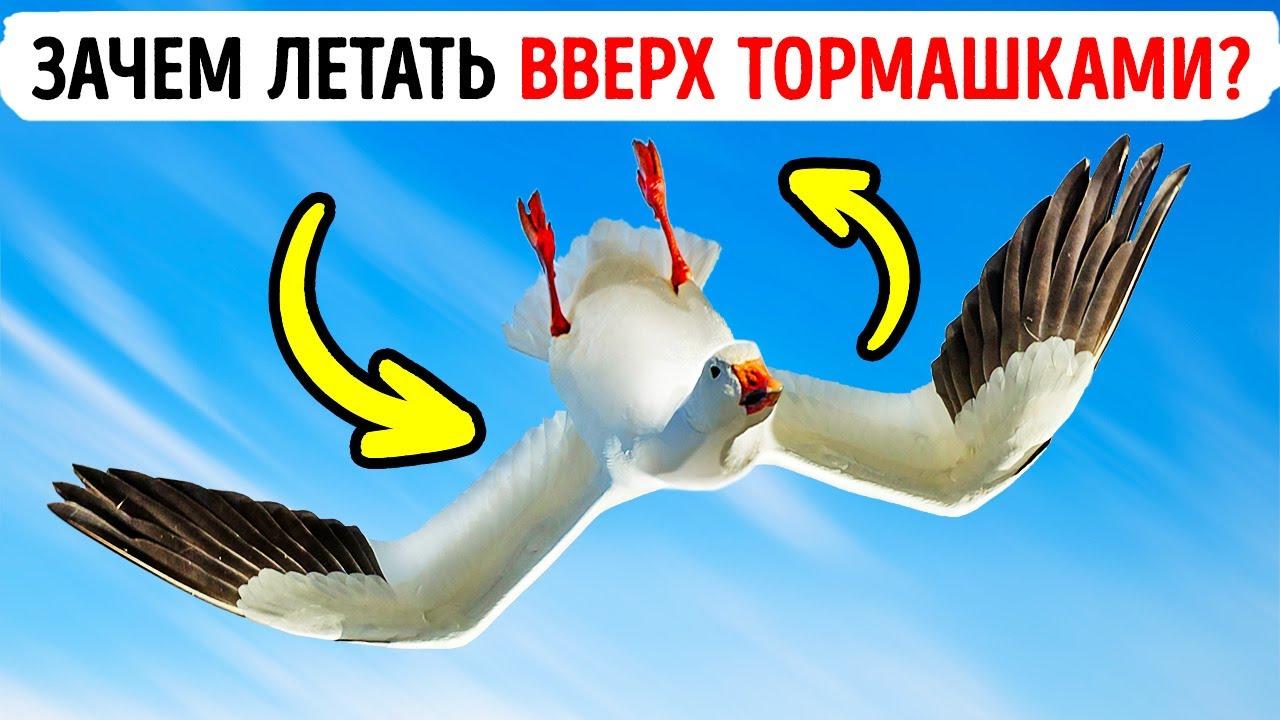 Иногда гуси летают вверх ногами, и никто не знает почему