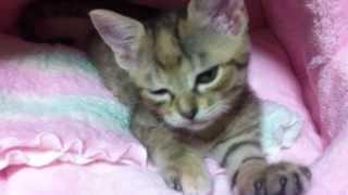 かわいい!猫のふみふみもふもふ!子猫のラムちゃん~ Rerax Kitty ~