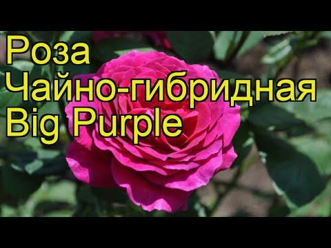 Роза чайно-гибридная Биг Перпл. Краткий обзор, описание характеристик, где купить саженцы Big Purple
