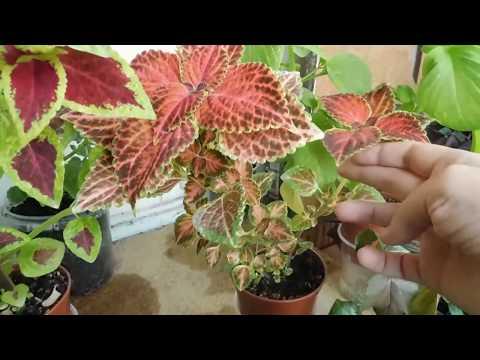 🌱Колеусы выросли из семян . Маленькая коллекция ! 🌱 how to grow a koleus