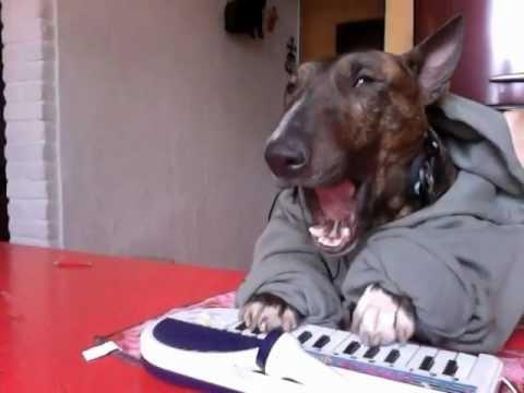 happy birthday keyboard dog enox bull terrier youtube