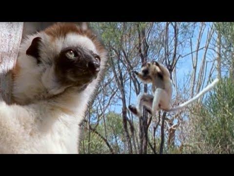 Sifaka Lemurs Jumping Around | Attenborough | BBC Earth