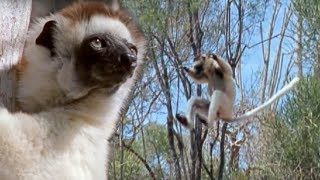 Sifaka Lemurs Jumping Around | Attenborough | BBC Earth