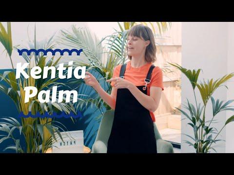 Kentia Palm - Top houseplants 🌴