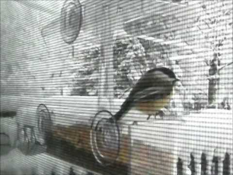 Black-Capped Chickadee at Window Feeder