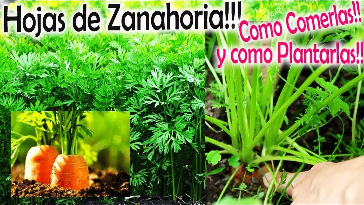 Hojas De Zanahoria Comerlas Y Como Plantarlas Huerto Organico Youtube Esta posee incontables beneficios para la salud. hojas de zanahoria comerlas y como plantarlas huerto organico