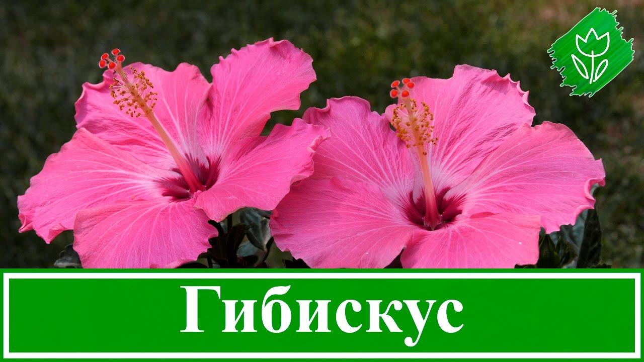 гибискус фото садовый посадка и уход фото