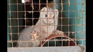 Całkowity zakaz hodowli zwierząt futerkowych i upadek branży