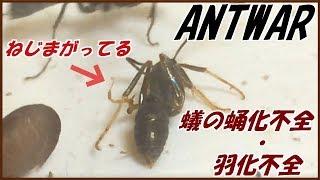 蟻は高度な社会性を持つ昆虫である。 ~Ants are socially advanced ins...