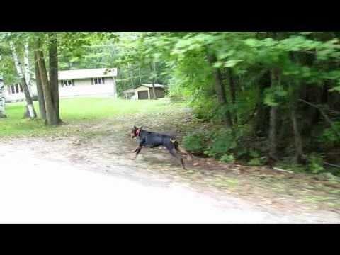 DOBERMAN PINSCHER RUNNING AT FULL SPEED