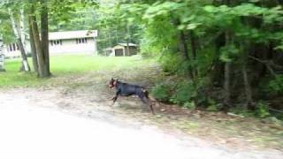Doberman Pinscher Running At Full Speed