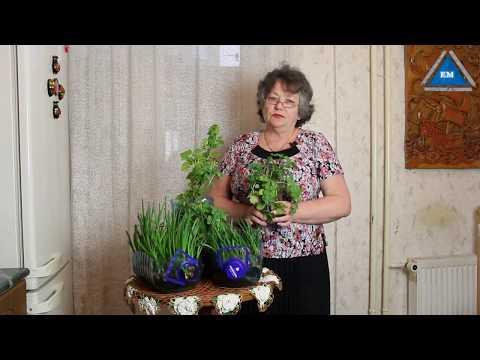видео: Как вырастить зеленый лук дома в  пластиковой бутылке