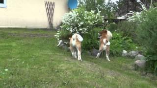 АКИТА/  продаются щенки/ Санкт-Петербург.(, 2015-06-15T18:47:04.000Z)