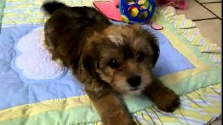Yorkie Poo Picture | Best Yorkie Poo Picture Compilation