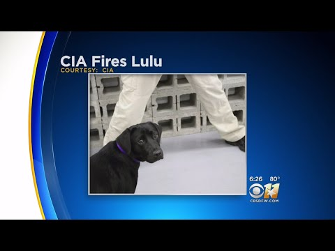 Download Youtube: CIA Bomb-Sniffing Dog Fired