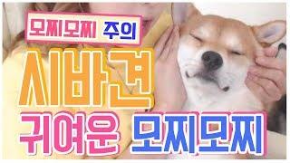 시바견(Shibainu,柴犬)의 모찌모찌( モチモチ)(볼살늘려보기)//털갈이 중인 시바견