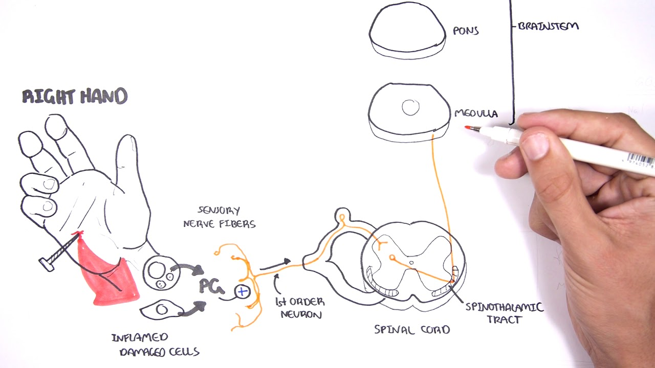 small resolution of pain physiology the ascending pathway descending pain pathway and the substantia gelatinosa