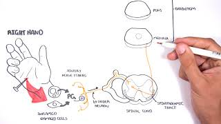 PAIN! Physiology - The Ascending Pathway, Descending Pain Pathway and the Substantia Gelatinosa