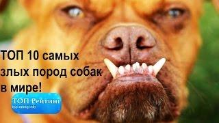 Самые злые собаки  ТОП 10 самых злых пород собак в мире
