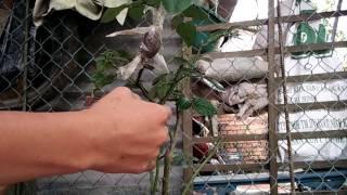 Cach chiếc cây bông hồng(2)