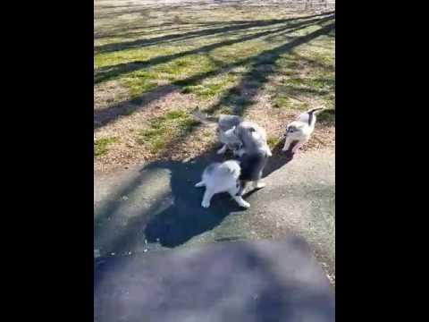 PuppyFinder.com : Klee Kia Ecliipse