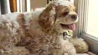 ペットのアメリカン・コッカー・スパニエルです。