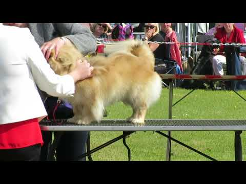 Finlay the Tibetan Spaniel at Christchurch & New Forest show