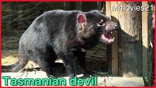 タスマニアデビルの姉妹 マルジューナとメイディーナ Tasmanian devil