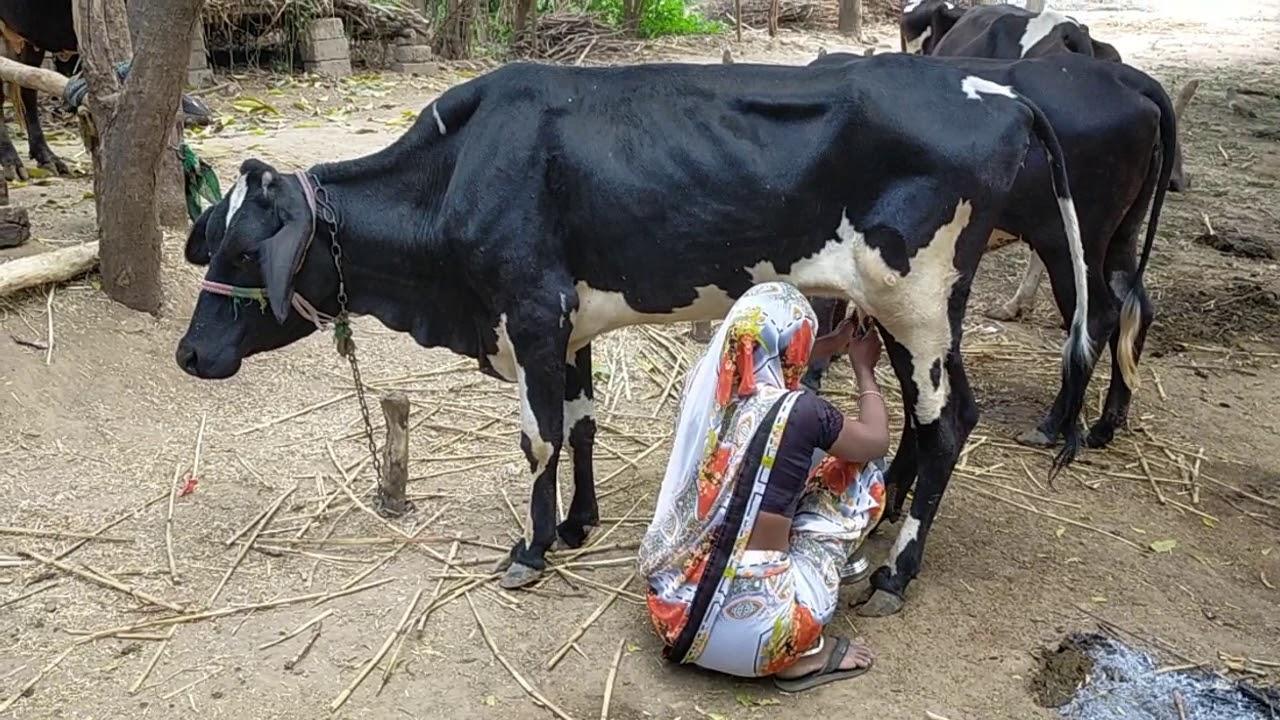 Indian village women cow milking full video 2021