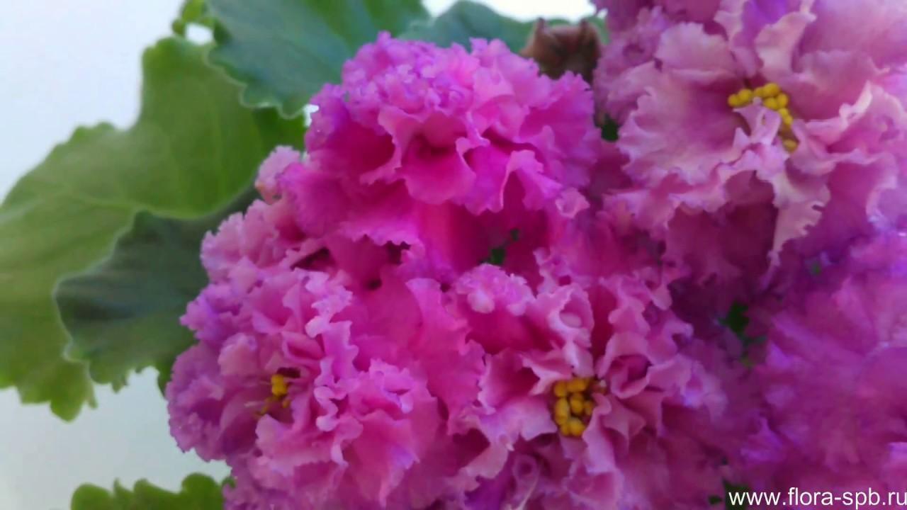 Мои цветущие комнатные растения. Фиалка OPTIMARA MY DREAM/ - YouTube