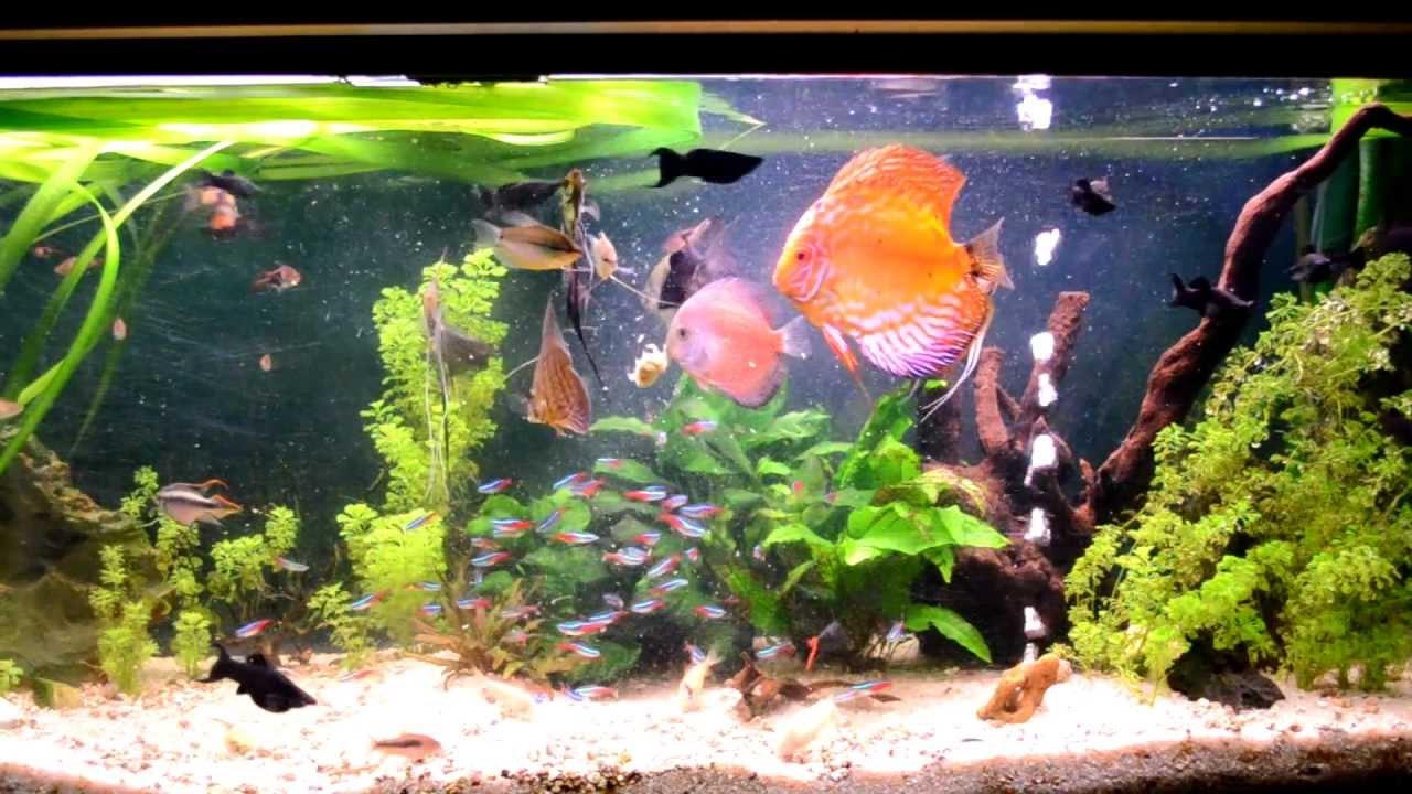 Peces comiendo papilla casera hd 1080p youtube for Productos para estanques de peces