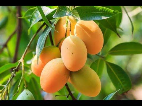Выращивание манго в комнатных условиях