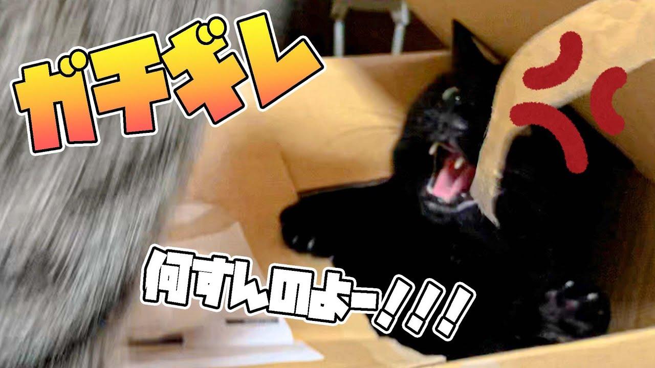 暗闇からシャーを繰り出す黒猫
