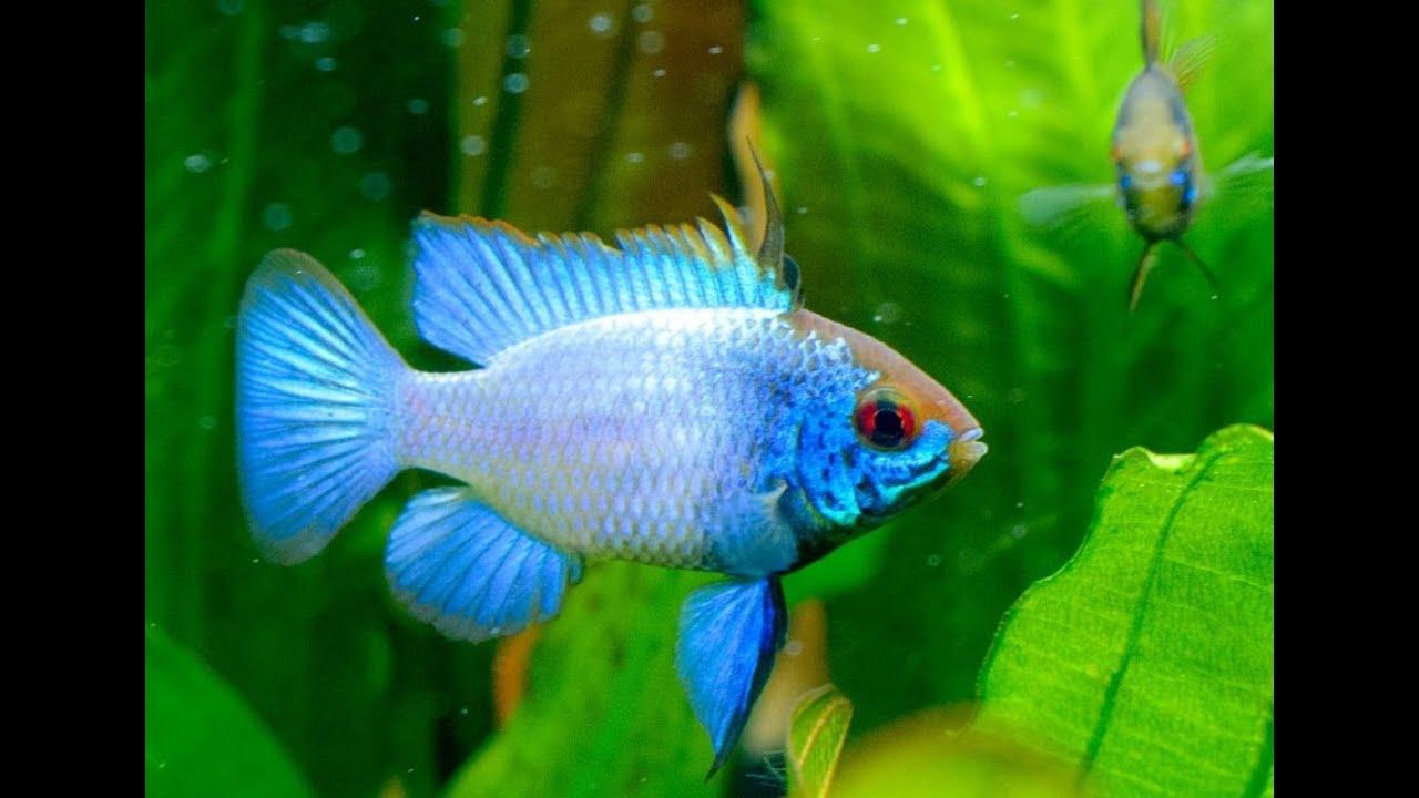 Гурами золотой - рыбы плавающие в аквариум купить - YouTube