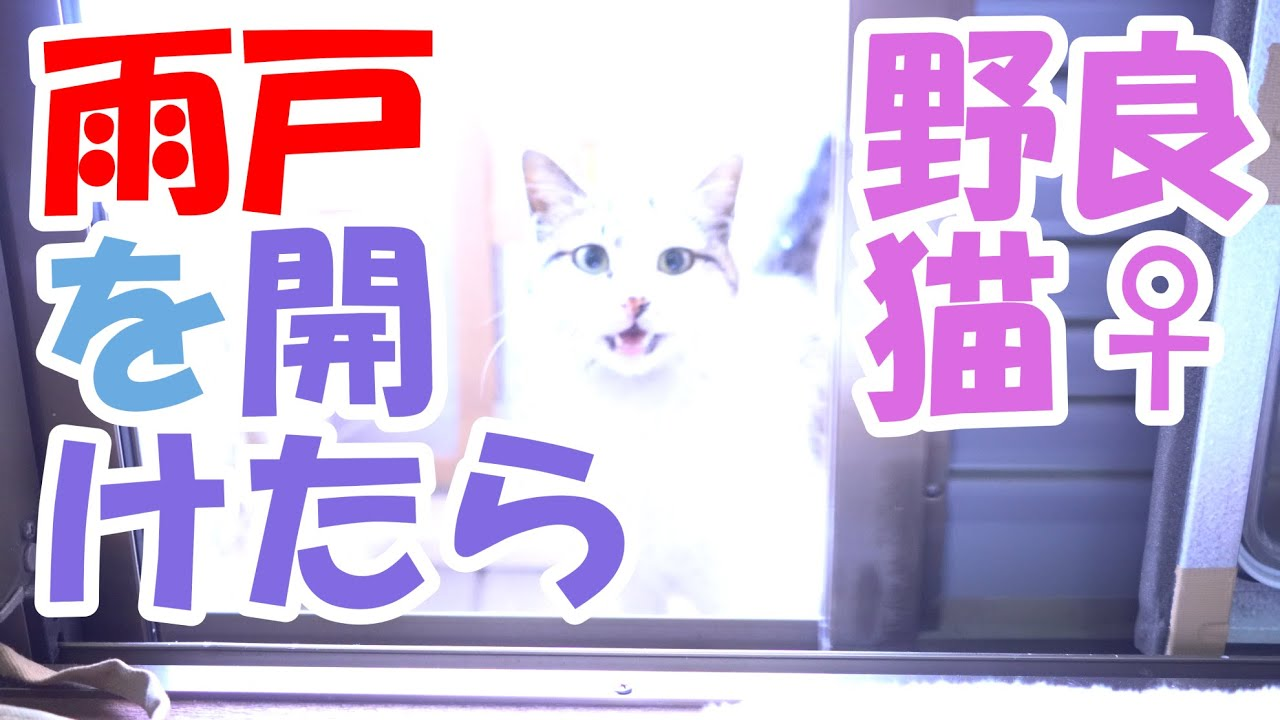 野良猫♀編 雨戸を開けたら【猫】かわいい・おもしろい