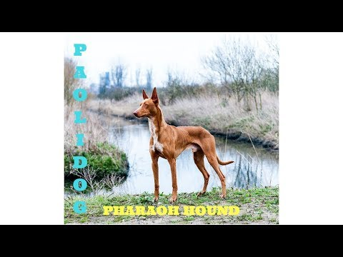 PHARAOH HOUND   TOP 10 INTERESTING FACTS
