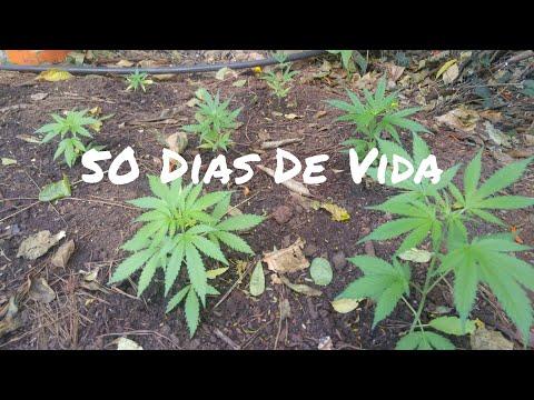 Cannabis Automáticas Com 50 Dias De Vida Cultivo Outdoor #37 ( GORDÃO THC )