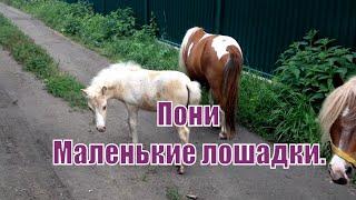 Пони, мини лошади. Small beautiful loshadki. интересное   видео про животных  смотреть(Пони, мини лошади. Small beautiful loshadki Маленькие лошадки- красивые. На даче кто то держит лошадей и выпускает их..., 2016-07-17T12:25:58.000Z)